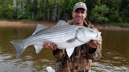 Striped bass—caught and released—in the Shubenacadie River.