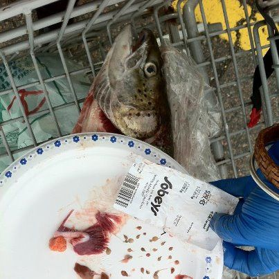 Not very appetizing - sea louse-infested salmon from Sobeys.