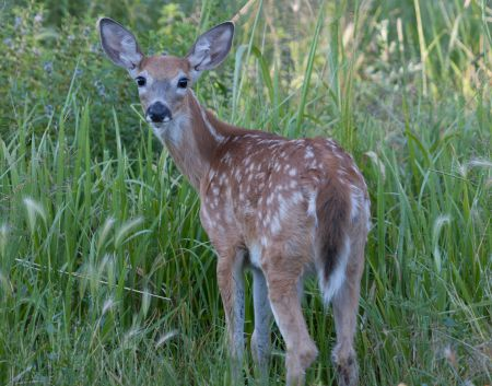 Rod Cumberland asserts that glyphosate applications to New Brunswick's Crown lands is the cause of the province's dwindling white-tailed deer population. [Photo: M. Paullson via flickr]