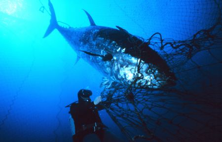The Atlantic Bluefin tuna was listed as endangered in 2011 by the Committee of the Status of Endangered Wildlife in Canada. Since then, Canada has supported an increase in tuna quota of 250 tonnes per year, which has received criticism from conservation groups and praise from industry. Danilo Cedrone photo