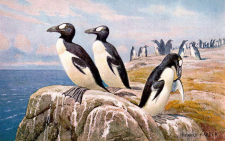 The last confirmed encounter between humans and the great auk took place June 3, 1844, when two were killed by fishermen on the coast of Iceland. This is a species which once occupied beaches across the entire Atlantic Ocean, including those in Atlantic Canada. Painting by Heinrich Harder (1858-1935)