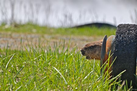 A groundhog in front of one of the effluent settling ponds at Boat Harbour. [Photo: M. Howe]