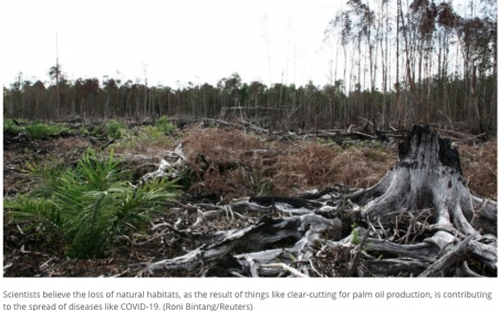 Scientists believe the loss of natural habitats, as the result of things like clear-cutting for palm oil production, is contributing to the spread of diseases like COVID-19. (Roni Bintang/Reuters)