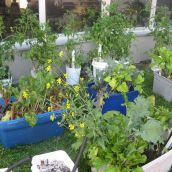 CAFs container-grown vegetables displayed lots of delicious, ready to harvest vegetables.