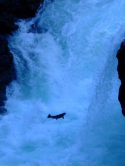 Wild Salmon in the Stamp River [Photo: farmedsalmonfree]