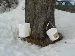 My neigbour let me tap her maple tree. This does not harm the tree.