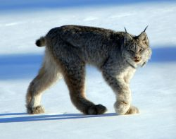 The Canadian lynx is a species of wildcat rarely seen in Atlantic Canada. It was destroyed on PEI, the Nova Scotian mainland and over much of New Brunswick. Thankfully, some persist in northern New Brunswick, on Cape Breton Island and on Newfoundland. [Keith Williams photo]