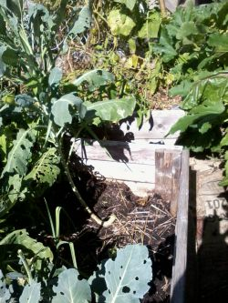 """Broccoli thrives in 6"""" of soil. I filled this bed with fresh horse manure, and then a year later topped it up with bagged manure from a grocery store."""