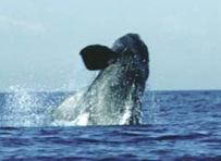 North Atlantic Right Whale: Photo by William Rossiter; obtained from Cetacean Society International Photo Gallery