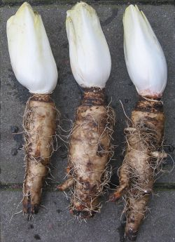 Winter-forced endives